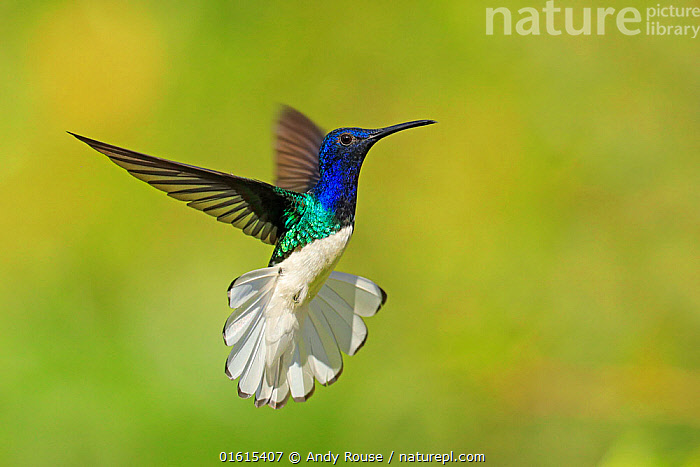 RF- White-necked Jacobin hummingbird (Florisuga mellivora) hovering with tail erect to show aggression , Tobago (This image may be licensed either as rights managed or royalty free.), Animal,Wildlife,Vertebrate,Bird,Birds,Hummingbird,White necked jacobin,Animalia,Animal,Wildlife,Vertebrate,Aves,Bird,Birds,Apodiformes,Trochilidae,Hummingbird,Florisuga,Florisuga mellivora,White necked jacobin,Great jacobin hummingbird,Great white bellied hummingbird,Great collared hummingbird,Jacobin hummingbird,White bellied hummingbird,Collared hummingbird,Flying,The Caribbean,Caribbean,Trinidad And Tobago,West Indies,Biodiversity hotspots,RF,Royalty free,RF4,,,RF,RF4,Royalty free,, Andy Rouse