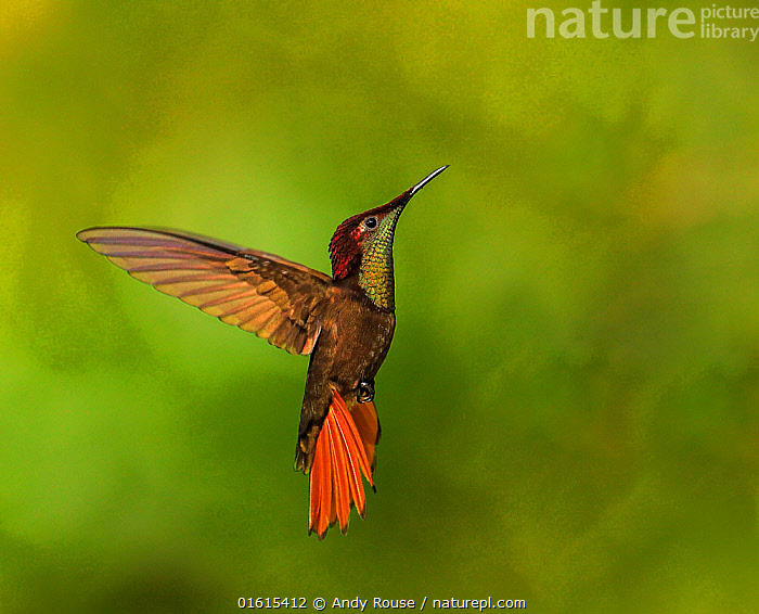 Ruby topaz hummingbird (Chrysolampis mosquitus) hovering, Tobago  ,  Animal,Wildlife,Vertebrate,Bird,Birds,Hummingbird,Ruby topaz,Animalia,Animal,Wildlife,Vertebrate,Aves,Bird,Birds,Apodiformes,Trochilidae,Hummingbird,Chrysolampis,Chrysolampis mosquitus,Ruby topaz,Ruby topaz hummingbird,Flying,The Caribbean,Caribbean,Trinidad And Tobago,West Indies,Biodiversity hotspots,  ,  Andy Rouse