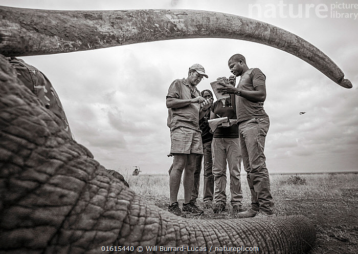 Black and white image of people viewed through sedated African elephant (Loxodonta africana) tusks during radio collaring operation. Tsavo Conservation Area, Kenya. Editorial use only. Other uses need clearance., Animal,Wildlife,Vertebrate,Mammal,Elephant,African elephants,African elephant,Animalia,Animal,Wildlife,Vertebrate,Mammalia,Mammal,Proboscidea,Elephantidae,Elephant,Loxodonta,African elephants,Loxodonta africana,African elephant,People,Colour,Africa,East Africa,Kenya,B/W,Monochromatic,Equipment,Wildlife Tracking Tag,Tag,Conservation,Conservation equipment,Radio trackers,Radio collars,Tagged,Sedating,Sedated,Tranquillised,Tranquillized,Tsavo,Black and white,Endangered species,threatened,Endangered, Will Burrard-Lucas