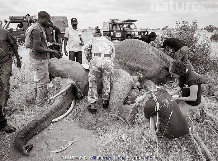 Black and white image of people fitting radio tracking collar onto African elephant (Loxodonta africana) Tsavo Conservation Area, Kenya. Editorial use only. Other uses need clearance., Animal,Wildlife,Vertebrate,Mammal,Elephant,African elephants,African elephant,Animalia,Animal,Wildlife,Vertebrate,Mammalia,Mammal,Proboscidea,Elephantidae,Elephant,Loxodonta,African elephants,Loxodonta africana,African elephant,People,Colour,Africa,East Africa,Kenya,B/W,Monochromatic,Equipment,Wildlife Tracking Tag,Tag,Conservation,Conservation equipment,Radio trackers,Radio collars,Tagged,Sedating,Sedated,Tranquillised,Tranquillized,Tsavo,Black and white,Endangered species,threatened,Endangered, Will Burrard-Lucas