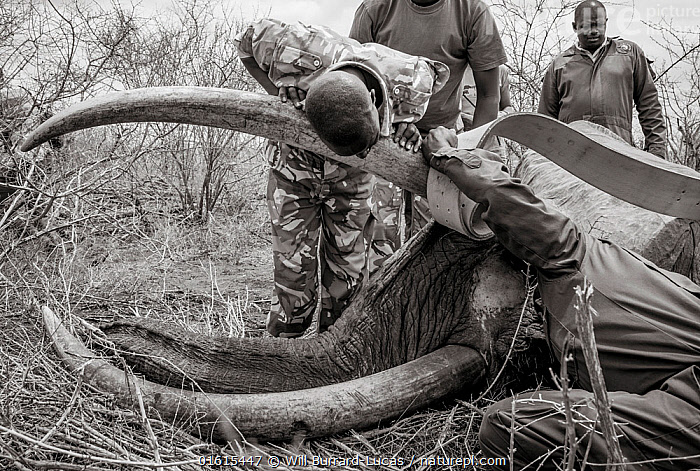 Black and white image of people fitting radio tracking collar onto African elephant (Loxodonta africana) Tsavo Conservation Area, Kenya. Editorial use only. Other uses need clearance., Animal,Wildlife,Vertebrate,Mammal,Elephant,African elephants,African elephant,Animalia,Animal,Wildlife,Vertebrate,Mammalia,Mammal,Proboscidea,Elephantidae,Elephant,Loxodonta,African elephants,Loxodonta africana,African elephant,People,Colour,Africa,East Africa,Kenya,B/W,Monochromatic,Tusk,Tusks,Equipment,Wildlife Tracking Tag,Tag,Conservation,Conservation equipment,Radio trackers,Radio collars,Tagged,Sedating,Sedated,Tranquillised,Tranquillized,Tsavo,Black and white,Endangered species,threatened,Endangered, Will Burrard-Lucas