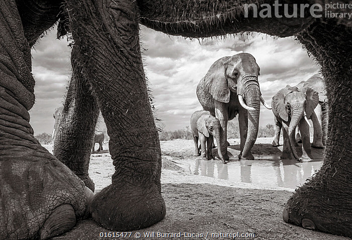 Black and white image of African elephant (Loxodonta africana) herd with calf at waterhole, seen through adults legs. Tsavo Conservation Area, Kenya. Taken with a remote camera buggy / BeetleCam. Editorial use only. Other uses need clearance.  ,  Animal,Wildlife,Vertebrate,Mammal,Elephant,African elephants,African elephant,Animalia,Animal,Wildlife,Vertebrate,Mammalia,Mammal,Proboscidea,Elephantidae,Elephant,Loxodonta,African elephants,Loxodonta africana,African elephant,Colour,Group Of Animals,Herd,Group,Africa,East Africa,Kenya,B/W,Monochromatic,Water Hole,Water Holes,Freshwater,Water,Tsavo,Black and white,Endangered species,threatened,Endangered  ,  Will Burrard-Lucas