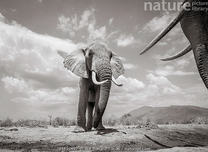 Black and white image of African elephant (Loxodonta africana) bulls males facing off against each other, Tsavo Conservation Area, Kenya. Editorial use only. Other uses need clearance.  ,  Animal,Wildlife,Vertebrate,Mammal,Elephant,African elephants,African elephant,Animalia,Animal,Wildlife,Vertebrate,Mammalia,Mammal,Proboscidea,Elephantidae,Elephant,Loxodonta,African elephants,Loxodonta africana,African elephant,Colour,Two,Africa,East Africa,Kenya,B/W,Monochromatic,Male Animal,Bull,Bulls,Tusk,Tusks,Tsavo,Black and white,Endangered species,threatened,Endangered  ,  Will Burrard-Lucas