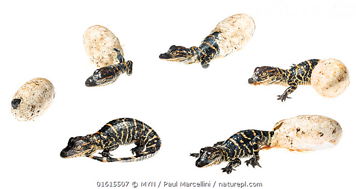 Sequence of an American alligator (Alligator mississippiensis) hatching from its egg, Palmdale, Florida, USA. Digital composite., Animal,Wildlife,Vertebrate,Reptile,Crocodilian,Alligator,American,Animalia,Animal,Wildlife,Vertebrate,Reptilia,Reptile,Crocodylia,Crocodilian,Crocodilia,Alligatoridae,Alligator,Alligator mississippiensis,Gator,American alligator,Florida alligator,Mississippi alligator,Louisiana alligator,Crocodilus mississipiensis,Crocodilus lucius,Alligator lucius,Hatch,North America,USA,Southern USA,Southeast USA,Florida,Plain Background,White Background,Young Animal,Baby,Hatchlings,Animal Eggs,Egg,Eggs,Animal Behaviour,Behaviour,Everglades National Park,American,United States of America,Behavioural,,catalogue12, MYN  / Paul Marcellini