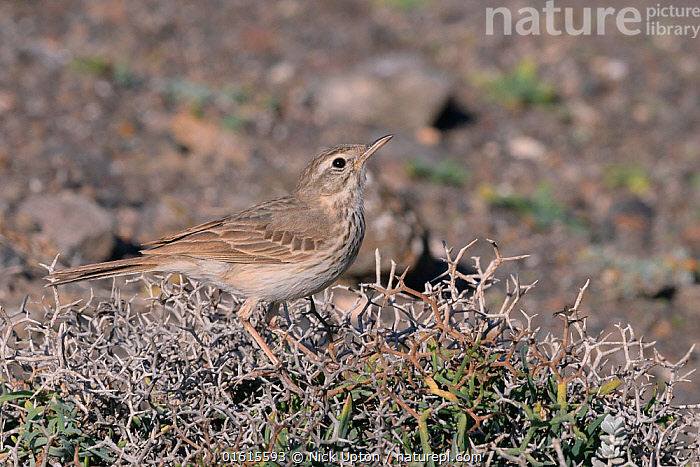 Berthelot's pipit (Anthus berthelotii berthelotii), endemic to Atlantic islands, perched in a spiny bush, Lanzarote, Canary Islands, February.  ,  Animal,Wildlife,Vertebrate,Bird,Birds,Songbird,Pipit,Berthelot&#39,s pipit,Animalia,Animal,Wildlife,Vertebrate,Aves,Bird,Birds,Passeriformes,Songbird,Passerine,Motacillidae,Anthus,Pipit,Anthus berthelotii,Berthelot&#39,s pipit,Canarian pipit,Canary Islands pipit,Atlantic Islands,On ground,  ,  Nick Upton