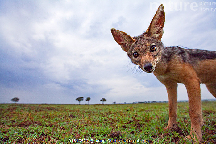 Black-backed jackal approaching with curiosity - remote camera (Canis mesomelas). Masai Mara National Reserve, Kenya.  ,  Animal,Wildlife,Vertebrate,Mammal,Carnivore,Canid,Black-backed Jackal,Animalia,Animal,Wildlife,Vertebrate,Mammalia,Mammal,Carnivora,Carnivore,Canidae,Canid,Canis,Canis mesomelas,Black-backed Jackal,Silver-backed Jackal,Africa,East Africa,Kenya,Low Angle View,,,catalogue12  ,  Anup Shah