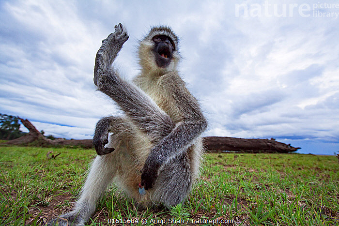 Vervet monkey (Cercopithecus aethiops) male scratching itself - remote camera . Masai Mara National Reserve, Kenya.  ,  Animal,Wildlife,Vertebrate,Mammal,Monkey,Grivet Monkey,Animalia,Animal,Wildlife,Vertebrate,Mammalia,Mammal,Primate,Primates,Cercopithecidae,Monkey,Old World Monkeys,Chlorocebus,Chlorocebus aethiops,Green Monkey,Grivet Monkey,Malbrouk Monkey,Tantalus,Vervet Monkey,Humorous,Africa,East Africa,Kenya,Low Angle View,Sky,Cloud,Cercopithecus aethiops,,,catalogue12  ,  Anup Shah