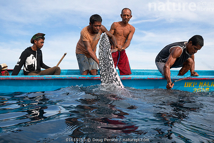 Traditional subsistence hunters struggle to subdue a harpooned Pacific leatherback sea turtle, (Dermochelys coriacea) a Critically Endangered species, Kei (or Kai) Islands, Moluccas, eastern Indonesia, Banda Sea, Southwest Pacific Ocean.  ,  Animal,Wildlife,Vertebrate,Reptile,Testitudine,Sea turtles,Leatherback,Animalia,Animal,Wildlife,Vertebrate,Reptilia,Reptile,Chelonii,Testitudine,Dermochelyidae,Sea turtles,Turtle,Dermochelys,Dermochelys coriacea,Leatherback,Leathery Turtle,Luth,Trunkback Turtle,Testudo coriacea,Testudo lyra,Chelonia lutaria,People,Traditional,Asia,South East Asia,Indonesia,Equipment,Hunting Equipment,Harpoon,Harpoons,Boat,Ocean,Pacific Ocean,Hunting,Marine,Water,Saltwater,Biodiversity hotspot,Local people,Subsistence,Moluccas,Endangered species,threatened,Critically endangered  ,  Doug Perrine