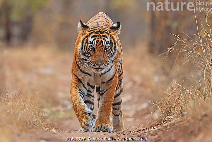 Bengal tiger (Panthera tigris) tigress Noor , Ranthambhore, India  ,  Animal,Wildlife,Vertebrate,Mammal,Carnivore,Cat,Big cat,Tiger,Animalia,Animal,Wildlife,Vertebrate,Mammalia,Mammal,Carnivora,Carnivore,Felidae,Cat,Panthera,Big cat,Panthera tigris,Tiger,Felis tigris,Tigris striatus,Tigris regalis,Walking,Asia,Indian Subcontinent,India,Female animal,Reserve,Protected area,National Park,Rajasthan,Moving,Ranthambore National Park,Movement,Endangered species,threatened,Endangered  ,  Andy Rouse