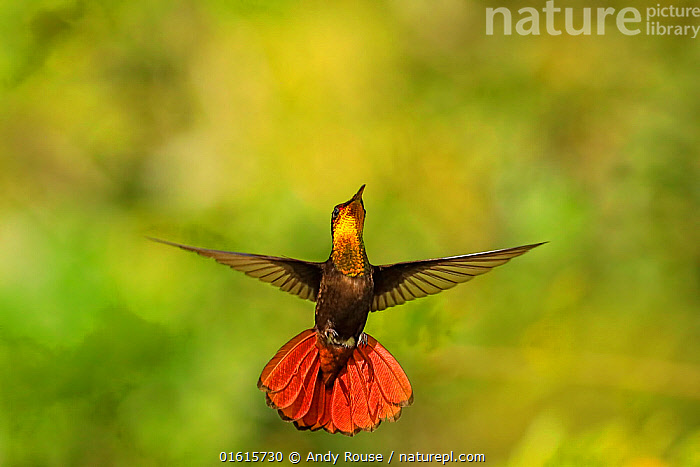 Ruby Topaz hummingbird (Chrysolampis mosquitus) hovering, Tobago Medium repro only  ,  Animal,Wildlife,Vertebrate,Bird,Birds,Hummingbird,Ruby topaz,Animalia,Animal,Wildlife,Vertebrate,Aves,Bird,Birds,Apodiformes,Trochilidae,Hummingbird,Chrysolampis,Chrysolampis mosquitus,Ruby topaz,Ruby topaz hummingbird,Flying,The Caribbean,Caribbean,Trinidad And Tobago,West Indies,Biodiversity hotspots,  ,  Andy Rouse