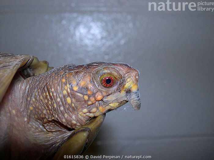 Beak overgrowth in Eastern box turtle (Terrapene carolina). This is a common condition in captive chelonians. Captive animal. Small repro only  ,  Terrapene carolina,Eastern box turtle,captive,beak,overgroth,Chelonia,Reptile,,Animal,Wildlife,Vertebrate,Reptile,Testitudine,Pond Turtles,American box turtles,American Box Turtle,Animalia,Animal,Wildlife,Vertebrate,Reptilia,Reptile,Chelonii,Testitudine,Emydidae,Pond Turtles,Marsh turtles,Turtle,Terrapene,American box turtles,Terrapene carolina,American Box Turtle,Common Box Turtle,Eastern Box Turtle,Mexican Box Turtle,Yucatan Box Turtle,Testudo carolina,Cistudo carolina,Emys tritentaculata,Disease,Ill,Illnesses,Poorly,Sick,Sickness,Profile,Side View,Captivity,  ,  David Perpinan