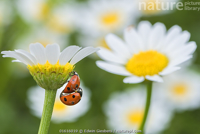 Seven spot ladybird (Coccinella septempunctata) pair mating on Mayweed (Anthemis sp) flower. Cyprus. April.  ,  Animal,Wildlife,Arthropod,Insect,Beetle,Seven spot ladybird,Coccinella transversalis,Animalia,Animal,Wildlife,Hexapoda,Arthropod,Invertebrate,Hexapod,Arthropoda,Insecta,Insect,Coleoptera,Beetle,Endopterygota,Neoptera,Coccinellidae,Ladybird,Ladybug,Lady bug,Coccinellid,Cucujoidea,Polyphaga,Coccinella,Coccinella septempunctata,Seven spot ladybird,Ladybird beetle,Seven spot ladybeetle,Seven spotted lady beetle,Seven spotted ladybird,Sevenspotted ladybug,7 spot ladybird,C-7,Coccinella 7-punctata,Two,Europe,Southern Europe,Cyprus,Plant,Flower,Animal Behaviour,Reproduction,Mating Behaviour,Copulation,Male female pair,Behaviour,Belidae,Coccinella transversalis,Behavioural,,,catalogue12  ,  Edwin Giesbers