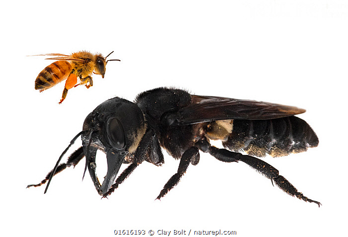 Composite image of Wallace's giant bee (Megachile pluto) with European honey bee (Apis melifera). This is the world's largest bee, which is approximately 4 times larger than a European honey bee. One of the first images of a living member of this species. Mollucas, Indonesia. January 2019, Animal,Wildlife,Arthropod,Insect,Bee,Honey bee,Leaf cutting bee,Leafcutter bee,Solitary bee,Wallace&#39,s giant bee,Animalia,Animal,Wildlife,Hexapoda,Arthropod,Invertebrate,Hexapod,Arthropoda,Insecta,Insect,Hymenoptera,Apidae,Bee,Apid bee,Apoidea,Apocrita,Apis,Honey bee,Honeybee,Colonial bee,Apini,Apis mellifera,European honey bee,Western honey bee,Apis mellifica,Megachilidae,Leaf cutting bee,Megachile,Leafcutter bee,Leaf cutter bee,Comparison,Juxtaposition,Endangered,Size,Giant,Huge,Massive,Large,Asia,South East Asia,Indonesia,Oceania,Cutout,Plain Background,White Background,Conservation,Biodiversity hotspot,Discovery,Solitary bee,Moluccas,Megachile pluto,Wallace&#39,s giant bee,Rediscovery,Vulnerable,Endangered species,Endangered,, catalogue11, Clay Bolt