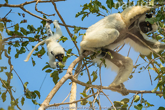 Decken's sifaka (Propithecus deckenii) female and her young playing, Tsimembo area, Madagascar. Lenses for Conservation project., Animal,Wildlife,Vertebrate,Mammal,Sifaka,Decken&#39,s Sifaka,Animalia,Animal,Wildlife,Vertebrate,Mammalia,Mammal,Primate,Primates,Indriidae,Prosimians,Propithecus,Sifaka,Propithecus deckenii,Decken&#39,s Sifaka,Van Der Decken's Sifaka,Africa,Madagascar,Malagasy Republic,Republic of Madagascar,Animal Behaviour,Playing,Family,Mother baby,Behaviour,Mother,Biodiversity hotspots,Biodiversity hotspot,Play,Playful,Parent baby,Behavioural,, Houdin and Palanque