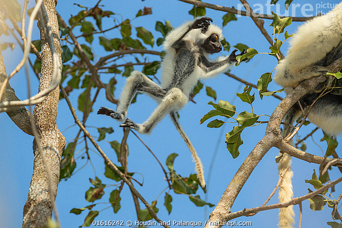 Decken's sifaka (Propithecus deckenii) female and her young playing, Tsimembo area, Madagascar. Lenses for Conservation project., Animal,Wildlife,Vertebrate,Mammal,Sifaka,Decken&#39,s Sifaka,Animalia,Animal,Wildlife,Vertebrate,Mammalia,Mammal,Primate,Primates,Indriidae,Prosimians,Propithecus,Sifaka,Propithecus deckenii,Decken&#39,s Sifaka,Van Der Decken's Sifaka,Jumping,Africa,Madagascar,Malagasy Republic,Republic of Madagascar,Animal Behaviour,Playing,Family,Mother baby,Behaviour,Mother,Biodiversity hotspots,Biodiversity hotspot,Play,Playful,Parent baby,Moving,Behavioural,Movement,, Houdin and Palanque