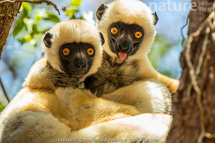 Decken's sifaka (Propithecus deckenii) grooming each other, Tsimembo area, Madagascar.  Lenses for Conservation project., Animal,Wildlife,Vertebrate,Mammal,Sifaka,Decken&#39,s Sifaka,Animalia,Animal,Wildlife,Vertebrate,Mammalia,Mammal,Primate,Primates,Indriidae,Prosimians,Propithecus,Sifaka,Propithecus deckenii,Decken&#39,s Sifaka,Van Der Decken's Sifaka,Friendship,Facial Expression,Making A Face,Africa,Madagascar,Malagasy Republic,Republic of Madagascar,Portrait,Biodiversity hotspots,Biodiversity hotspot,Funny Face,, Houdin and Palanque