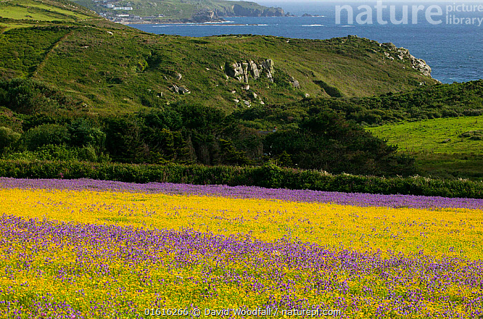 Strips of purple Vipers bugloss( Echium plantagineum) and Corn marigold (Chrysanthemum segetum) with Cornish coast in background background . Bosregan Meadows,St Just Cornwall,England ,UK  ,  Plant,Vascular plant,Flowering plant,Asterid,Borage,Viper&#39,s bugloss,Corn marigold,Purple viper&#39,s bugloss,Plantae,Plant,Tracheophyta,Vascular plant,Magnoliopsida,Flowering plant,Angiosperm,Seed plant,Spermatophyte,Spermatophytina,Angiospermae,Boraginales,Asterid,Dicot,Dicotyledon,Asteranae,Boraginaceae,Borage,Echium,Viper&#39,s bugloss,Vipersbugloss,Asterales,Asteraceae,Compositae,Glebonis,Glebionis segetum,Corn marigold,Corn daisy,Corndaisy,Chrysanthemum segetum,Colour,Purple,Yellow,Flower,Mountain,Coast,Coastal,Echium plantagineum,Purple viper&#39,s bugloss,Paterson&#39,s Curse,  ,  David  Woodfall