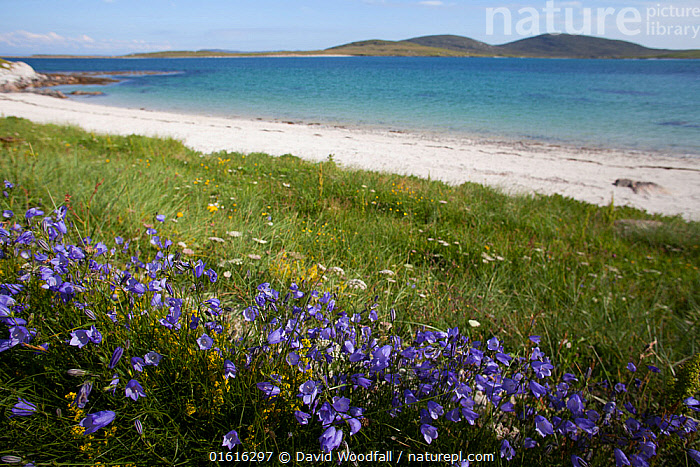 Harebells (Campanula rotundifolia) growing in machair on the edge of sea, Berneray, Outer Hebrides, Scotland, UK, July., Plant,Vascular plant,Flowering plant,Asterid,Bellflower,Harebell,Plantae,Plant,Tracheophyta,Vascular plant,Magnoliopsida,Flowering plant,Angiosperm,Seed plant,Spermatophyte,Spermatophytina,Angiospermae,Asterales,Asterid,Dicot,Dicotyledon,Asteranae,Campanulaceae,Campanule,Campanula,Bellflower,Campanula rotundifolia,Harebell,Bluebell,Bluebell bellflower,Roundleaf harebell,Campanula angustifolia,Campanula heterodoxa,Campanula chinganensis,Colour,Purple,Europe,Western Europe,UK,Great Britain,Scotland,Outer Hebrides,Flower,Landscape,Coast,Coastal,Hebrides,Scottish islands,Scottish isles,, David  Woodfall