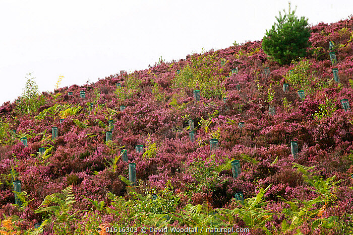 Rewilded moorland / farmland with planted trees Lynbreck croft, Highlands, Scotland, UK, August 2017., Planting,Plant,Ericale,Ericales,Heather Family,Ericaceae,Heather,Tree,Restoration,Heathland,Moor,Moors,Conservation,Rewilding,Upland,Heath,, David  Woodfall