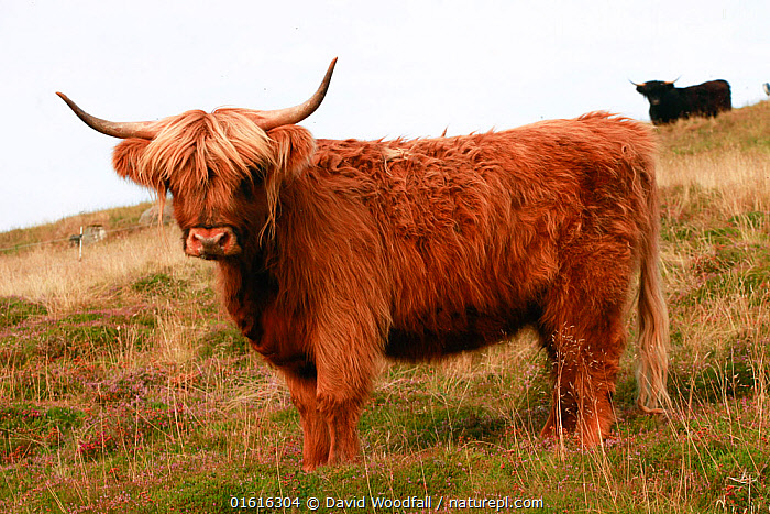 Highland Bull on pasture in Lynbreck croft, Highlands, Scotland, UK, August 2017., Europe,Western Europe,UK,Great Britain,Scotland,Highland,Animal,Male Animal,Bull,Bulls,Pasture,Pastures,Livestock,Grassland,Domestic animal,Cattle,Highland Cattle,Domesticated,Highlands of Scotland,Horn,Mammal,, David  Woodfall