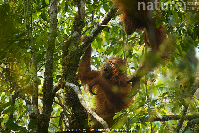 Tapanuli Orangutan (Pongo tapanuliensis) Beti, juvenile female approximate age 6 years, playing in tree with mother, Beta, Batang Toru Forest