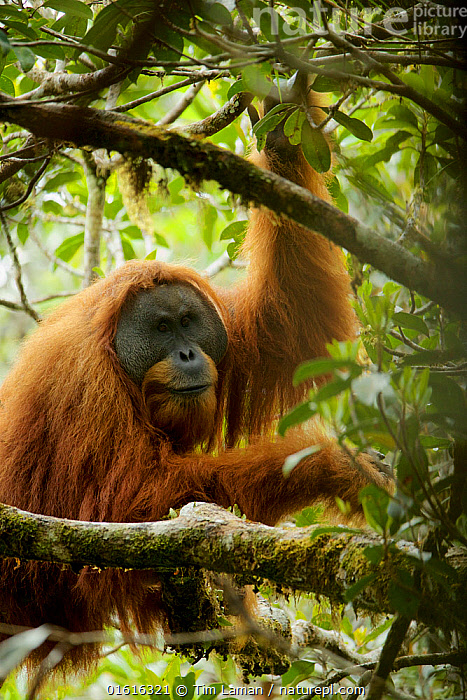 Tapanuli Orangutan (Pongo tapanuliensis). Togus, adult flanged male. Batang Toru Forest, Sumatran Orangutan Conservation Project, North Sumatran Province, Indonesia., MM8117,myngmedit,Sumatra,Tapanuli orangutan (Pongo tapanuliensis),,Animal,Wildlife,Vertebrate,Mammal,Ape,Great ape,Orangutan,Tapanuli orangutan,Critically endangered,Endangered species,Threatened,Animalia,Animal,Wildlife,Vertebrate,Mammalia,Mammal,Primate,Primates,Hominidae,Ape,Great ape,Hominoidea,Pongo,Orangutan,Orang utan,Ponginae,Asia,South East Asia,Indonesia,Portrait,Male Animal,Rainforest,Tropical rainforest,Forest,Biodiversity hotspot,Sumatra,Pongo tapanuliensis,Tapanuli orangutan,Critically endangered,Endangered species,Threatened,,, catalogue11, Tim  Laman