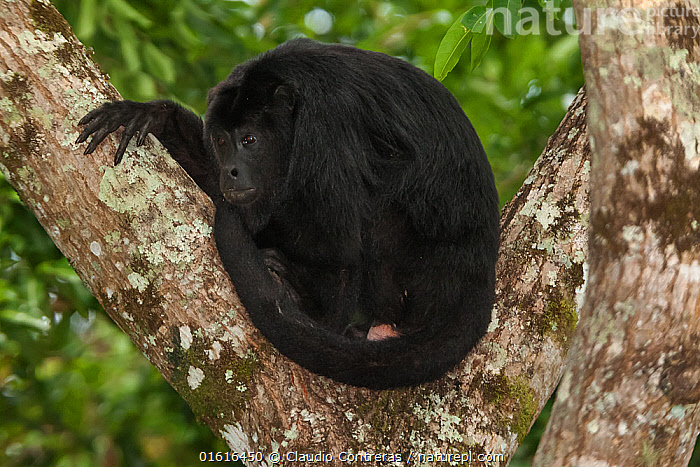 Mantled howler monkey (Alouatta pigra), Yaxchilan Natural Monument, Lacandon Rainforest, southern Mexico, July. Medium repro only  ,  Animal,Wildlife,Vertebrate,Mammal,Monkey,Howler Monkeys,Black Howling Monkey,Animalia,Animal,Wildlife,Vertebrate,Mammalia,Mammal,Primate,Primates,Atelidae,Monkey,New World Monkeys,Aloutta,Howler Monkeys,Alouttidae,Alouatta pigra,Black Howling Monkey,Guatemalan Black Howler Monkey,Guatemalan Howler,Guatemalan Howling Monkey,Lawrence's Howler Monkey,Mexican Black Howler Monkey,Yucatán Black Howler Monkey,Alouatta luctuosa,Alouatta villosa,Resting,Rest,Latin America,Central America,Mexico,Rainforest,Tropical rainforest,Forest,  ,  Claudio  Contreras
