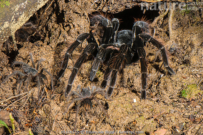 Peruvian Tarantula (Pamphobeteus sp.) adult and young emerging from their communal burrow at night, Los Amigos Biological Station, Madre de Dios, Amazonia, Peru., Animal,Wildlife,Arthropod,Arachnid,Spider,Tarantula,Animalia,Animal,Wildlife,Chelicerata,Arthropod,Chelicerate,Arthropoda,Arachnida,Arachnid,Aranae,Spider,Theraphosidae,Tarantula,Pamphobeteus,Scare,Scary,Latin America,South America,Peru,Burrow,Burrows,Animal Behaviour,Family,Mother baby,Behaviour,Mother,Invertebrate,Parent baby,Amazon,Behavioural,, Emanuele Biggi