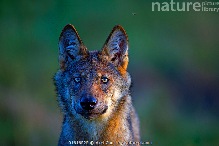 Wolf (Canis lupus), in meadow, Saxony-Anhalt, Germany, Animal,Wildlife,Vertebrate,Mammal,Carnivore,Canid,Grey Wolf,Animalia,Animal,Wildlife,Vertebrate,Mammalia,Mammal,Carnivora,Carnivore,Canidae,Canid,Canis,Canis lupus,Grey Wolf,Common Wolf,Wolf,Happiness,Europe,Western Europe,Germany,Saxony,Portrait,Restoration,Conservation,Rewilding,, Axel  Gomille