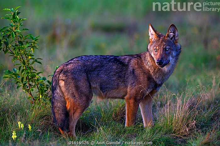 Wolf (Canis lupus), in meadow, Saxony-Anhalt, Germany  ,  Animal,Wildlife,Vertebrate,Mammal,Carnivore,Canid,Grey Wolf,Animalia,Animal,Wildlife,Vertebrate,Mammalia,Mammal,Carnivora,Carnivore,Canidae,Canid,Canis,Canis lupus,Grey Wolf,Common Wolf,Wolf,Europe,Western Europe,Germany,Saxony,Portrait,Restoration,Conservation,Rewilding,,,catalogue12  ,  Axel  Gomille