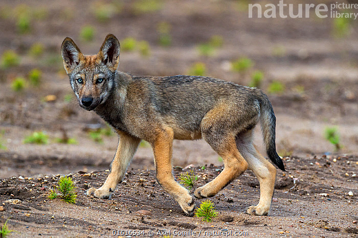 Wolf (Canis lupus), cub, Saxony-Anhalt, Germany, July., Animal,Wildlife,Vertebrate,Mammal,Carnivore,Canid,Grey Wolf,Animalia,Animal,Wildlife,Vertebrate,Mammalia,Mammal,Carnivora,Carnivore,Canidae,Canid,Canis,Canis lupus,Grey Wolf,Common Wolf,Wolf,Cute,Adorable,Europe,Western Europe,Germany,Saxony,Young Animal,Baby,Baby Mammal,Cub,Restoration,Conservation,Rewilding,, Axel  Gomille