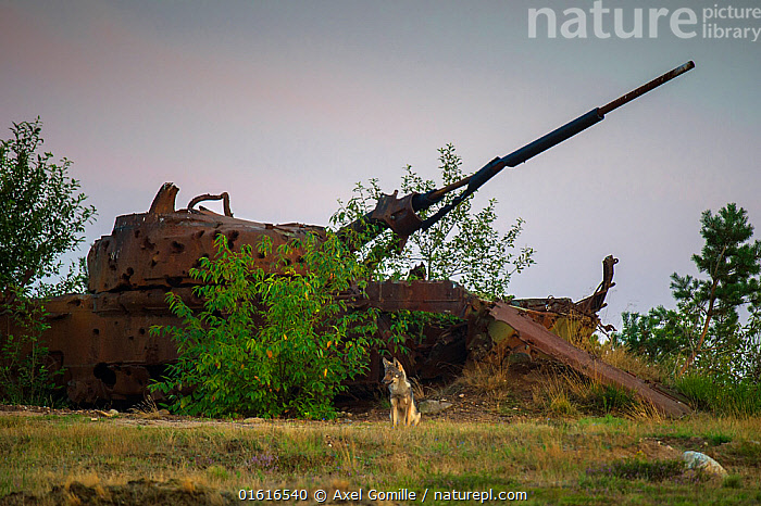 Wolf (Canis lupus), sitting in front of wrecked tank, military training area, Saxony-Anhalt, Germany, Animal,Wildlife,Vertebrate,Mammal,Carnivore,Canid,Grey Wolf,Animalia,Animal,Wildlife,Vertebrate,Mammalia,Mammal,Carnivora,Carnivore,Canidae,Canid,Canis,Canis lupus,Grey Wolf,Common Wolf,Wolf,Abandoned,Wreck,Europe,Western Europe,Germany,Saxony,Land Vehicle,Motor Vehicle,Military Vehicle,Military Vehicles,Tank,Tanks,Restoration,Military,Armed Forces,Conservation,Rewilding,, Axel  Gomille