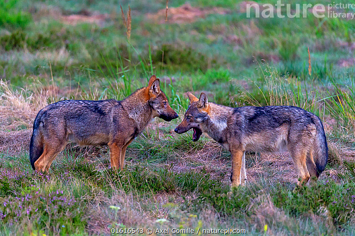 Wolf (Canis lupus), young wolves play fighting in meadow, Saxony-Anhalt, Germany.  ,  Animal,Wildlife,Vertebrate,Mammal,Carnivore,Canid,Grey Wolf,Animalia,Animal,Wildlife,Vertebrate,Mammalia,Mammal,Carnivora,Carnivore,Canidae,Canid,Canis,Canis lupus,Grey Wolf,Common Wolf,Wolf,Play Fight,Play Fighting,Play Fights,Europe,Western Europe,Germany,Saxony,Young Animal,Baby,Baby Mammal,Cub,Restoration,Animal Behaviour,Playing,Conservation,Behaviour,Play,Playful,Rewilding,Behavioural,  ,  Axel  Gomille