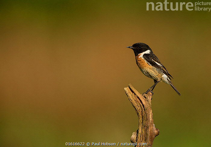 Stonechat (Saxicola rubicola) male perched on twig. Surrey, England, UK. May., Animal,Wildlife,Vertebrate,Bird,Birds,Songbird,Old world flycatcher,Chat,Stonechat,Animalia,Animal,Wildlife,Vertebrate,Aves,Bird,Birds,Passeriformes,Songbird,Passerine,Muscicapidae,Old world flycatcher,Flycatcher,Saxicola,Chat,Chat thrush,Saxicolinae,Saxicola rubicola,Stonechat,Common stonechat,Collared bush chat,Saxicola torquata,Europe,Western Europe,UK,Great Britain,England,Surrey,Copy Space,Profile,Side View,Negative space,, Paul Hobson