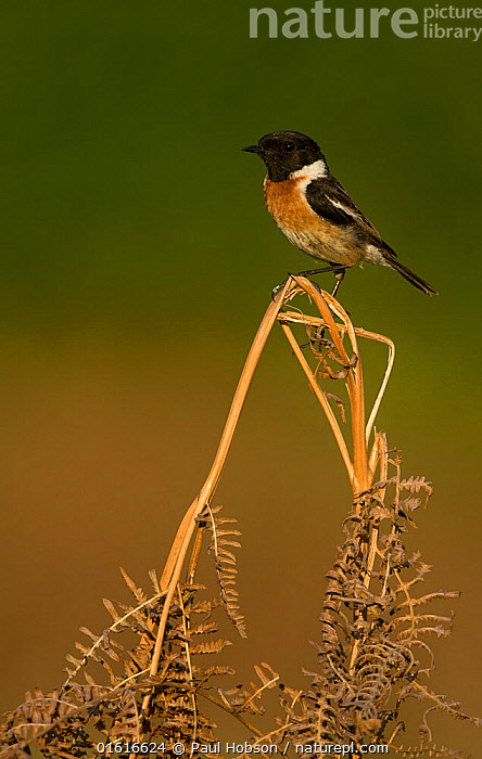 Stonechat (Saxicola rubicola) male perched on Bracken (Pteridium aquilinum) frond. Surrey, England, UK. May., Animal,Wildlife,Vertebrate,Bird,Birds,Songbird,Old world flycatcher,Chat,Stonechat,Animalia,Animal,Wildlife,Vertebrate,Aves,Bird,Birds,Passeriformes,Songbird,Passerine,Muscicapidae,Old world flycatcher,Flycatcher,Saxicola,Chat,Chat thrush,Saxicolinae,Saxicola rubicola,Stonechat,Common stonechat,Collared bush chat,Saxicola torquata,Europe,Western Europe,UK,Great Britain,England,Surrey,Copy Space,Profile,Side View,Plant,Leaf,Foliage,Frond,Fronds,Negative space,, Paul Hobson