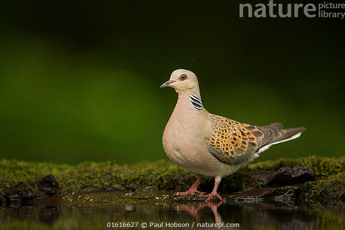 Turtle dove (Streptopelia turtur) standing at a drinking pool. Hungary. May.  ,  Animal,Wildlife,Vertebrate,Bird,Birds,Dove,Turtle dove,Animalia,Animal,Wildlife,Vertebrate,Aves,Bird,Birds,Columbiformes,Dove,Pigeon,Columbidae,Streptopelia,Streptopelia turtur,Turtle dove,European turtle dove,Common turtle dove,Standing,Europe,Eastern Europe,East Europe,Hungary,Copy Space,Side View,Freshwater,Water,Pool,Negative space,  ,  Paul Hobson
