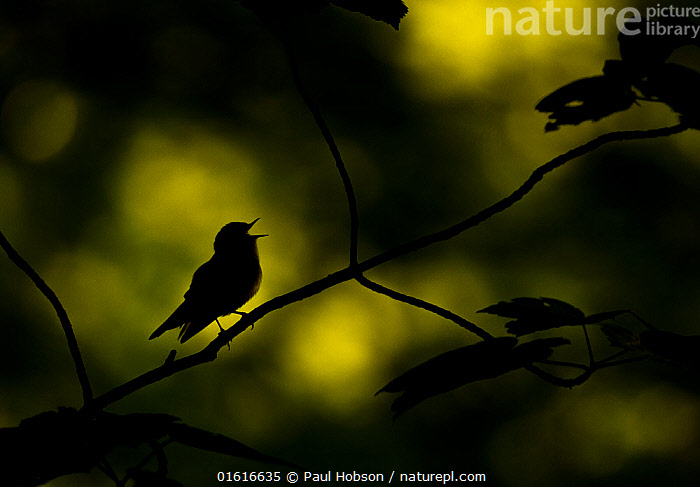 Wood warbler (Phylloscopus sibilatrix) singing whilst perched on branch, silhouetted at dawn. Sheffield, England, UK. May., Animal,Wildlife,Vertebrate,Bird,Birds,Songbird,Warbler,Wood warbler,Animalia,Animal,Wildlife,Vertebrate,Aves,Bird,Birds,Passeriformes,Songbird,Passerine,Phylloscopidae,Warbler,Phylloscopus,Phylloscopus sibilatrix,Wood warbler,Common wood warbler,Motacilla sibilatrix,Vocalisation,Singing,Sing,Facial Expression,Mouth Open,Europe,Western Europe,UK,Great Britain,England,South Yorkshire,Sheffield,Back Lit,Plant,Branch,Branches,Beak,Animal Behaviour,Silhouette,Behaviour,Yorkshire,Dawn,Behavioural,, Paul Hobson