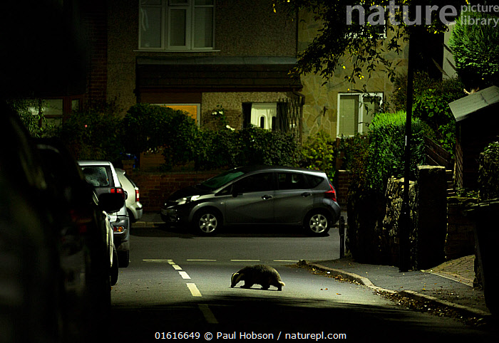 Badger (Meles meles) crossing road in residential area at night. Sheffield, England, UK. October 2018., Animal,Wildlife,Vertebrate,Mammal,Carnivore,Mustelid,Badger,Animalia,Animal,Wildlife,Vertebrate,Mammalia,Mammal,Carnivora,Carnivore,Mustelidae,Mustelid,Meles,Badger,Meles meles,Eurasian Badger,Crossing,Crossing The Road,Walking,Dark,Europe,Western Europe,UK,Great Britain,England,South Yorkshire,Sheffield,Side View,Housing Development,Housing Developments,Residential Area,Residential Areas,Residential District,Residential Districts,Road,Urban Road,Street,Night,Nocturnal,Yorkshire,Moving,Movement,, Paul Hobson