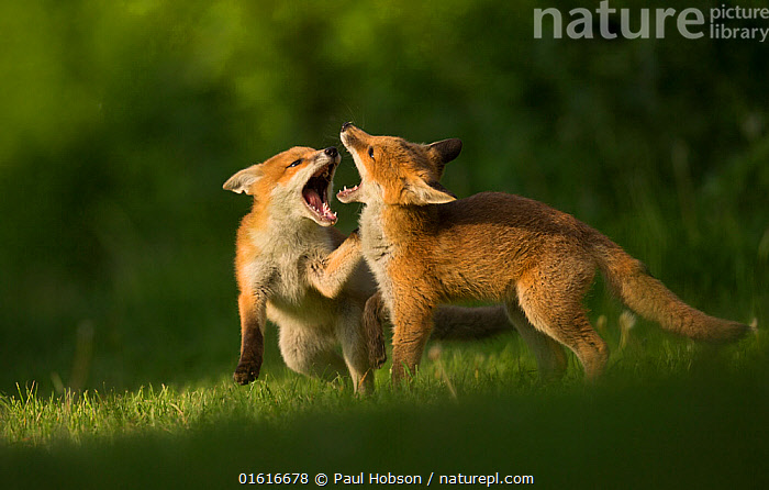 Red fox (Vulpes vulpes), two cubs play fighting. Sheffield, England, UK. May.  ,  Animal,Wildlife,Vertebrate,Mammal,Carnivore,Canid,True fox,Red fox,Animalia,Animal,Wildlife,Vertebrate,Mammalia,Mammal,Carnivora,Carnivore,Canidae,Canid,Vulpes,True fox,Vulpini,Caninae,Vulpes vulpes,Red fox,Play Fight,Play Fighting,Play Fights,Sibling,Siblings,Two,Europe,Western Europe,UK,Great Britain,England,South Yorkshire,Sheffield,Side View,Young Animal,Baby,Baby Mammal,Cub,Mouth,Animal Behaviour,Aggression,Playing,Family,Behaviour,Play,Playful,Yorkshire,Two animals,Open Mouth,Behavioural,,catalogue12  ,  Paul Hobson