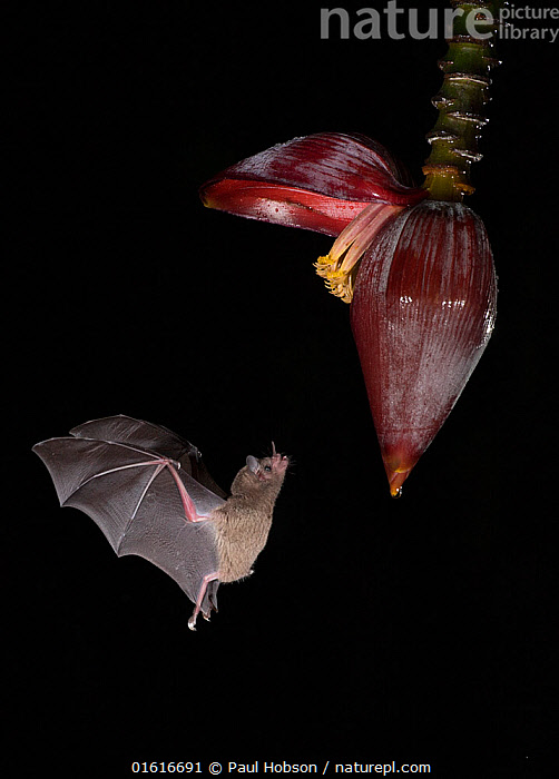 Leaf-nosed bat (Phyllostomidae sp) flying towards Banana (Musa sp) flower to feed. Costa Rica., Plant,Vascular plant,Flowering plant,Monocot,Animal,Wildlife,Vertebrate,Mammal,Bat,Leaf-nosed bats,Plantae,Plant,Tracheophyta,Vascular plant,Magnoliopsida,Flowering plant,Angiosperm,Seed plant,Spermatophyte,Spermatophytina,Angiospermae,Zingiberales,Monocot,Monocotyledon,Lilianae,Musaceae,Musa,Animalia,Animal,Wildlife,Vertebrate,Mammalia,Mammal,Chiroptera,Bat,Phyllostomidae,Leaf-nosed bats,Microchiroptera,Microbat,Micro bat,Flying,Dark,Latin America,Central America,Costa Rica,Cutout,Plain Background,Black Background,Side View,Flower,Night,Nocturnal,Feeding,Biodiversity hotspot,Nectaring,, Paul Hobson