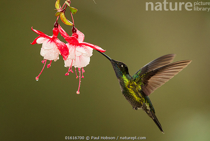 Rivoli's hummingbird (Eugenes fulgens) nectaring on Fuchsia (Fuchsia sp) flower. Costa Rica., Plant,Vascular plant,Flowering plant,Rosid,Fuchsia,Animal,Wildlife,Vertebrate,Bird,Birds,Hummingbird,Magnificent hummingbird,Plantae,Plant,Tracheophyta,Vascular plant,Magnoliopsida,Flowering plant,Angiosperm,Seed plant,Spermatophyte,Spermatophytina,Angiospermae,Myrtales,Rosid,Dicot,Dicotyledon,Rosanae,Onagraceae,Onagre,Fuchsia,Animalia,Animal,Wildlife,Vertebrate,Aves,Bird,Birds,Apodiformes,Trochilidae,Hummingbird,Eugenes,Eugenes fulgens,Magnificent hummingbird,Rivoli's hummingbird,Flying,Hovering,Mid Air,Latin America,Central America,Costa Rica,Copy Space,Profile,Side View,Flower,Wing,Feeding,Biodiversity hotspot,Nectaring,Negative space,, Paul Hobson