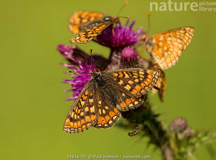 Marsh fritillary (Euphydryas aurinia), group feeding on Marsh thistle (Cirsium palustre). Lincolnshire, England, UK., Animal,Wildlife,Arthropod,Insect,Brushfooted butterfly,Marsh fritillary,Animalia,Animal,Wildlife,Hexapoda,Arthropod,Invertebrate,Hexapod,Arthropoda,Insecta,Insect,Lepidoptera,Lepidopterans,Nymphalidae,Brushfooted butterfly,Fourfooted butterfly,Nymphalid,Butterfly,Papilionoidea,Euphydryas,Euphydryas aurinia,Marsh fritillary,Papilio aurinia,Melitaea debilis,Melitaea valentini,Papilio merope,Group Of Animals,Group,Europe,Western Europe,UK,Great Britain,England,Lincolnshire,Copy Space,Wing,Feeding,Wings spread,Wingspan,Nectaring,Negative space,, Paul Hobson