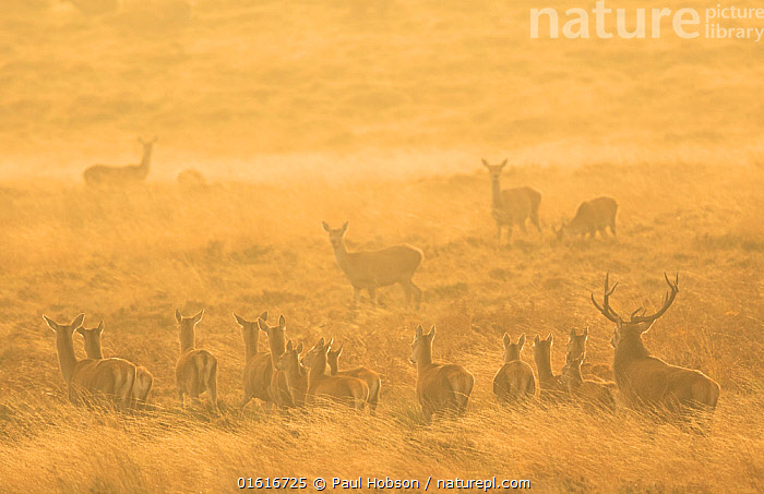 Red deer (Cervus elaphus) herd during rut in morning light. Derbyshire, England, UK. October., Animal,Wildlife,Vertebrate,Mammal,Deer,Red Deer,Animalia,Animal,Wildlife,Vertebrate,Mammalia,Mammal,Artiodactyla,Even-toed ungulates,Cervidae,Deer,True deer,ruminantia,Ruminant,Cervus,Cervus elaphus,Red Deer,Courting,Morning,Mornings,Group Of Animals,Herd,Group,Europe,Western Europe,UK,Great Britain,England,Derbyshire,Rear View,Female animal,Doe,Does,Male Animal,Stag,Stags,Moor,Moors,Animal Behaviour,Reproduction,Mating Behaviour,Courtship,Behaviour,Rutting,Upland,Hind,Hinds,Behavioural,, Paul Hobson