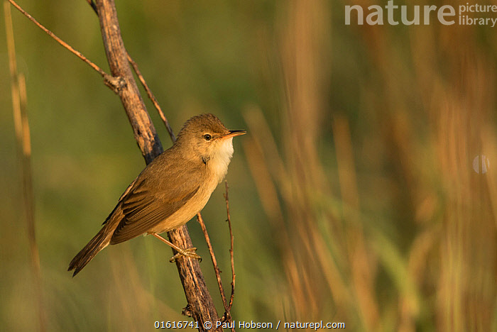 Nature Picture Library Reed Warbler Acrocephalus Scirpaceus Perched On Stem In Morning Light Sheffield England Uk May Paul Hobson