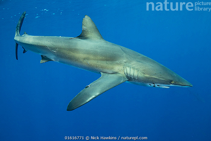 Silky shark (Carcharhinus falciformis). Cocos Island National Park, Costa Rica., Animal,Wildlife,Vertebrate,Cartilaginous fish,Ground shark,Requiem sharks,Silky shark,Animalia,Animal,Wildlife,Vertebrate,Chondrichthyes,Cartilaginous fish,Jawed fish,Carcharhiniformes,Ground shark,Carcharhinidae,Requiem sharks,Carcharhinus,Carcharhinus falciformis,Silky shark,Carcharias menisorrah,Carcharhinus floridianus,Carcharias falcipinnis,Latin America,Central America,Costa Rica,Coloured Background,Blue Background,Copy Space,Cutout,Side View,Tropical,Ocean,Pacific Ocean,Marine,Underwater,Water,Saltwater,Sea,Biodiversity hotspot,Shark,Negative space,Cocos Island National Park,Marine, Nick Hawkins