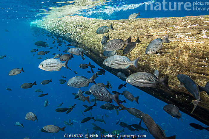 Fish seeking shelter around floating tree in open ocean. Off coast of Cocos Island National Park, Costa Rica.  ,  Animal,Wildlife,Vertebrate,Ray-finned fish,Animalia,Animal,Wildlife,Vertebrate,Actinopterygii,Ray-finned fish,Osteichthyes,Bony fish,Fish,Sheltering,Group Of Animals,Group,Latin America,Central America,Costa Rica,Plant,Tree Trunk,Tropical,Reef,Reefs,Ocean,Pacific Ocean,Marine,Underwater,Water,Reserve,Saltwater,Sea,Biodiversity hotspot,Protected area,National Park,Cocos Island National Park,Trunk,  ,  Nick Hawkins
