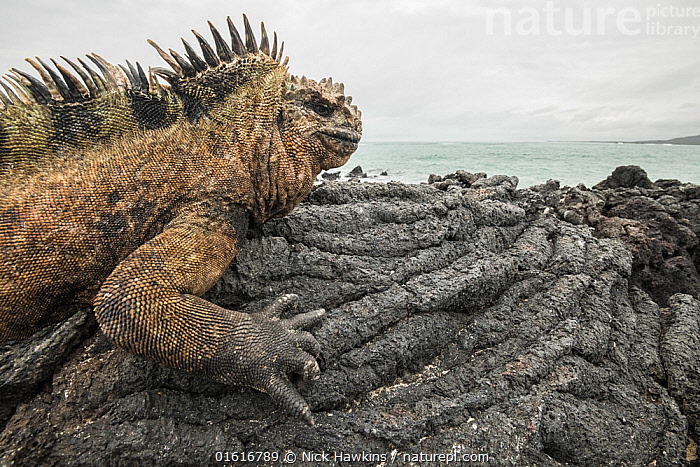 Marine iguana (Amblyrhynchus cristatus) basking on volcanic rock at coast. Isabela Island, Galapagos., Animal,Wildlife,Vertebrate,Reptile,Squamate,Iguana,Marine Iguana,Animalia,Animal,Wildlife,Vertebrate,Reptilia,Reptile,Squamata,Squamate,Iguanidae,Iguana,Lizard,Amblyrhychus,Amblyrhynchus cristatus,Marine Iguana,Fernandina Marine Iguana,Galapagos Marine Iguana,Sea Iguana,Oreocephalus cristatus,Sunbathing,Folded,Fold,Folds,Latin America,South America,Galapagos Islands,Galapagos,Side View,Rock,Igneous Rocks,Volcanic Rocks,Ocean,Pacific Ocean,Coast,Marine,Coastal,Water,Animal Behaviour,Thermoregulation,Basking,Behaviour,Saltwater,Sea,Biodiversity hotspot,Isabela Island,Behavioural,Sunning,Galapagos National Park,UNESCO World Heritage Site,Endangered species,threatened,Vulnerable, Nick Hawkins