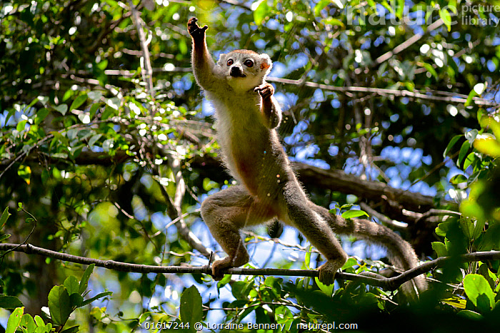 Crowned lemur (Eulemur coronatus) jumping in forest canopy. Analamera National Park, Madagascar., Animal,Wildlife,Vertebrate,Mammal,Lemur,True lemurs,Crowned lemur,Animalia,Animal,Wildlife,Vertebrate,Mammalia,Mammal,Primate,Primates,Lemuridae,Lemur,Prosimians,Eulemur,True lemurs,brown lemurs,Eulemur coronatus,Crowned lemur,Eulemur chrysampyx,Jumping,Agility,Agile,Africa,Madagascar,Malagasy Republic,Republic of Madagascar,Low Angle View,Plant,Tree,Tree Canopy,Tree Canopies,Reserve,Forest,Biodiversity hotspots,Biodiversity hotspot,Protected area,National Park,Moving,Movement,Analamera National Park,Analamerana Reserve,Endangered species,threatened,Vulnerable,catalogue12, Lorraine Bennery