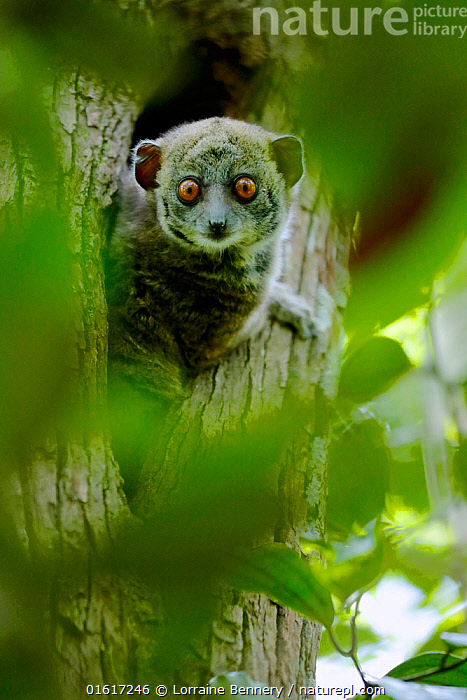 Ankarana sportive lemur (Lepilemur ankaranensis) looking out from hole in tree. Analamera National Park, Madagascar., Animal,Wildlife,Vertebrate,Mammal,Sportive lemur,Sportive lemurs,Ankarana sportive lemur,Animalia,Animal,Wildlife,Vertebrate,Mammalia,Mammal,Primate,Primates,Lepilemuridae,Sportive lemur,Prosimians,Lepilemur,Sportive lemurs,Lepilemur ankaranensis,Ankarana sportive lemur,Ankarana weasel lemur,Lepilemur andrafiamenensis,Africa,Madagascar,Malagasy Republic,Republic of Madagascar,Front View,Plant,Tree,Animal Eye,Eyes,Reserve,Biodiversity hotspots,Biodiversity hotspot,Protected area,National Park,Direct Gaze,Crevice,Analamera National Park,Analamerana Reserve,Endangered species,threatened,Endangered,catalogue12, Lorraine Bennery