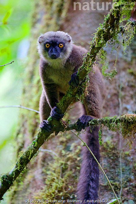 White-fronted brown lemur (Eulemur albifrons) perched in tree, looking at camera. Rainforests of the Atsinanana, Marojejy National Park, Madagascar., Animal,Wildlife,Vertebrate,Mammal,Lemur,True lemurs,White-fronted Brown Lemur,Animalia,Animal,Wildlife,Vertebrate,Mammalia,Mammal,Primate,Primates,Lemuridae,Lemur,Prosimians,Eulemur,True lemurs,brown lemurs,Eulemur albifrons,White-fronted Brown Lemur,White-fronted Lemur,Eulemur frederici,Africa,Madagascar,Malagasy Republic,Republic of Madagascar,Front View,Animal Eye,Eyes,Reserve,Biodiversity hotspots,Biodiversity hotspot,Protected area,UNESCO World Heritage Site,National Park,Direct Gaze,Rainforests of the Atsinanana,Endangered species,threatened,Vulnerable, Lorraine Bennery